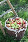 Basket of freshly picked apples at foot of ladder in garden