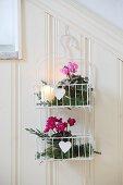 Cyclamen wrapped in juniper sprigs in wall-mounted baskets