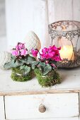 Ruffled Cyclamen wrapped in moss next to romantic candle lantern
