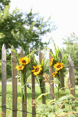 Posies of sunflowers on wooden fence