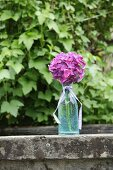 Purple hydrangea in glass carafe decorated with fabric ribbon