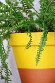 Fern in yellow dip-dye terracotta pot