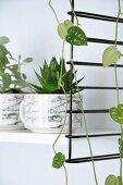 Zimmerpflanzen in marmorierten Tassen auf weissem Regalboden von schwarzem String-Regal