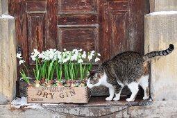 Katze riecht an mit Schneeglöckchen bepflanzter Kiste