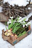 Schneeglöckchen mit Zwiebeln und Moos in einer Holzkiste
