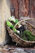 Hyacinths with bulbs and moss in wicker basket