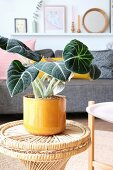 Foliage plant in yellow pot in living room