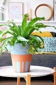 Bird's nest fern in painted terracotta pot