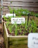 Urban gardening: green vegetable seedlings in wooden crates