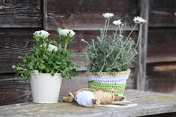 Potted ox-eye daisy in crocheted raffia cover and ranunculus planted in white bucket