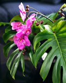 Pink orchid flowers amongst green Philodendron leaves
