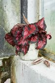 Rex begonia with reddish leaves in pot on mossy windowsill