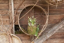 Snowdrops and spring snowflakes in mossy pot in garden riddle hung on wooden wall