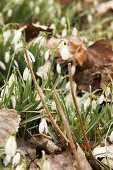 Harbingers of spring: Snowdrops amongst dried leaves in garden