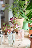 Coleus cutting in glass of water amongst other plants