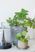 Oxalis and Chinese money plant next to Eiffel tower under glass cover