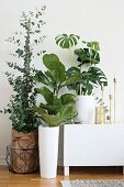 Eucalyptus, fiddle leaf fig and Swiss cheese plant