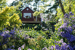 Flowering bellflowers (Campanula) in garden with wooden summerhouse in background
