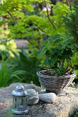 Candle lantern, arranged pebbles and pelargonium in basket on stone surface in garden