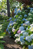 Blue-flowering hydrangea in garden