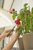 Tomatenernte auf dem Balkon
