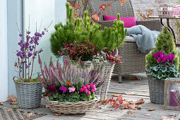 Autumn arrangement with Cyclamen persicum (cyclamen)