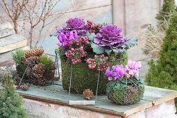 Brassica oleracea 'Pigeon purple', Pernettya mucronata