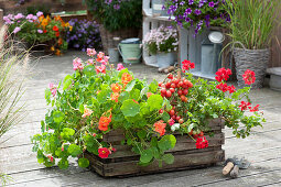 Plant old wine box with summer flowers and tomato