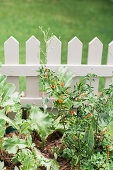 Plants on the picket fence