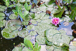 Lily pads and water lily flower in pond