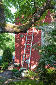 White wooden ladder leaning against wall of deep pink house in shady garden