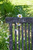 Kette aus Margeriten hängt an einem verwitterten Stuhl im Garten