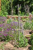 Selbstgebaute Rankhilfen aus Ästen für Erbsen im Bauerngarten