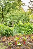 Gemüsebeet mit Salat und Rhabarber im frühsommerlichen Garten
