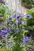Clematis 'Multi Blue' on vintage-style trellis