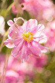 Rosa blühende Herbstanemone