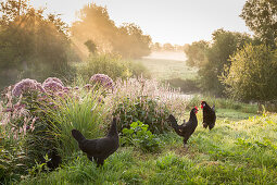 Two black hens and cockerel in idyllic landscape