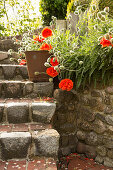 Flowering Oriental poppy 'May queen' planted next to stone steps