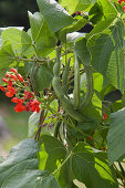Flowers and bean pods on bean plant