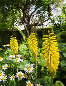 Yellow torch lilies and ox-eye daisies in garden