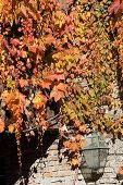 Herbstlich gefärbter Wilder Wein an einer Hauswand