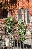 Arrangements of ivy on metal rods against garden fence