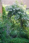 Rose arch in garden