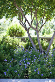 Tree in sunny bed of purple cranesbill geraniums