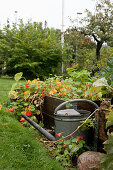 Metal watering can next to raised bed of nasturtiums