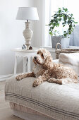 Dog lying on sofa in rustic living room