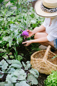 Woman wearing summer hat harvesting kohlrabi in garden