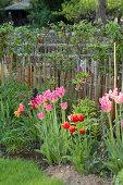 Pink tulips in garden