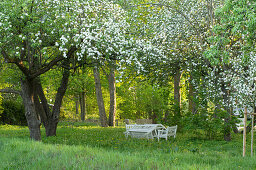 Flowering fruit trees in garden with garden furniture in background