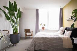 Baumstrelitzie im schlichten Schlafzimmer
